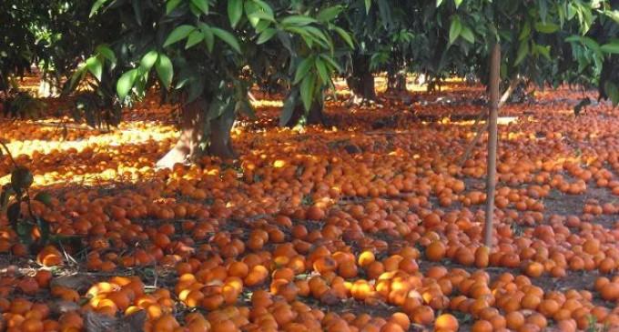 Toneladas de naranjas y mandarinas valencianas por tierra sin recoger<br><span style='color:#006EAF;font-size:12px;'>DESASTRE PARA NUESTRA AGRICULTURA</span>
