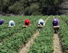España busca temporeros en Honduras<br><span style='color:#006EAF;font-size:12px;'>POR LA CRISIS CON MARRUECOS</span>
